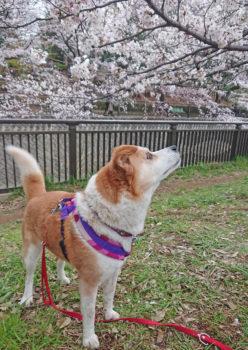 桜を見上げるひな