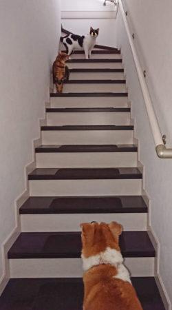 階段上にいる猫2頭を見上げるひな