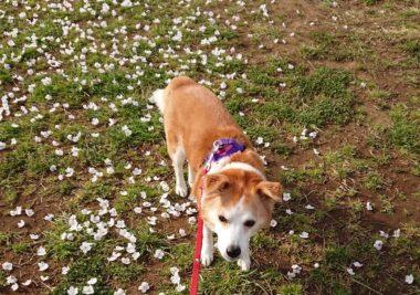 地面に散る桜の花びらと一緒に