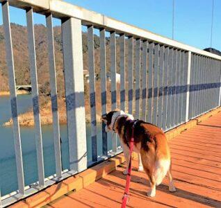 橋から下を覗くひな