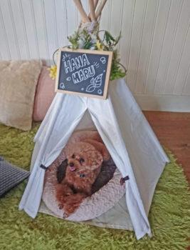 犬用テントでフセするトイプー