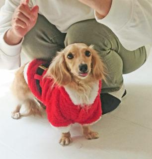 サンタ衣装を着たダックス