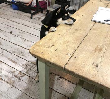 2本脚で立ち、机の上に顔を乗せるシバ