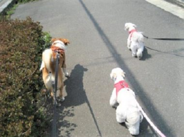 girlsと散歩中のひな