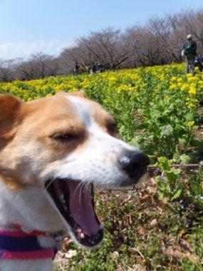 菜の花畑とひな