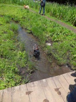 小川の中を歩くケアン