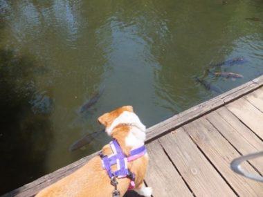 鯉を見つめるひな
