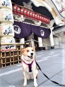 歌舞伎座前でオスワリ