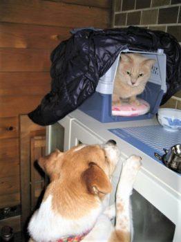 台の上の猫を覗き込むひな