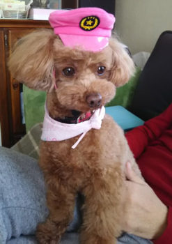 ピンクの帽子をかぶるトイプー