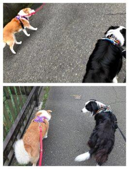 散歩中のひなとレアの距離