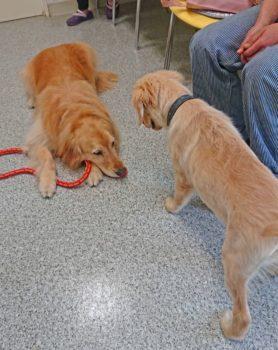 フセの成犬に近づくパピーゴールデン