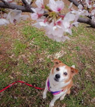 桜越しのひな
