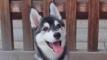笑顔のハスキー